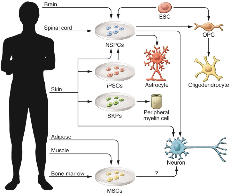 Neuron clipart stem cell (iPSCs) cells stem therapies cells