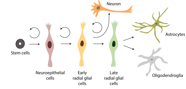 Neuron clipart stem cell Great cells Power differentiation Neural