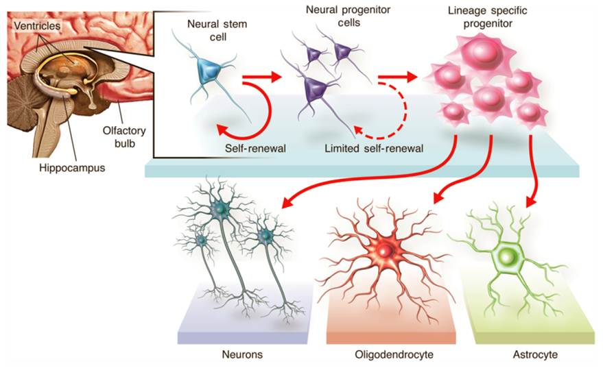 Neuron clipart stem cell Center Cell Cord more Neural