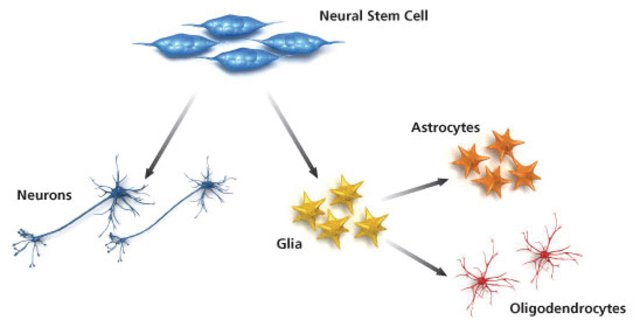 Neuron clipart stem cell Cells a neural lines and
