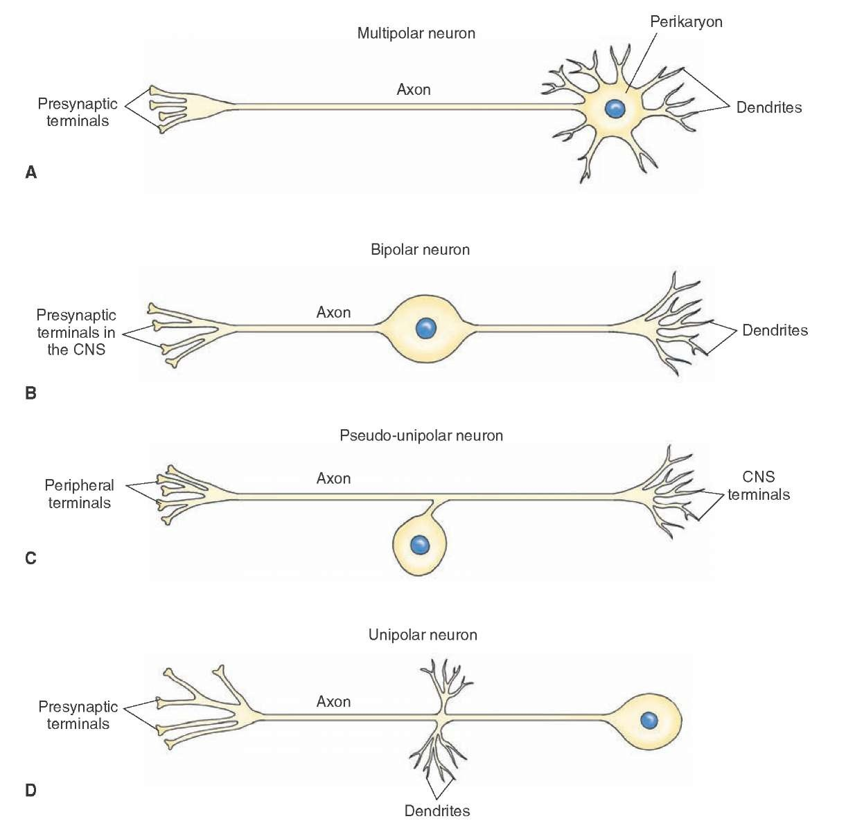 Neuron clipart unipolar Neurons neuron of of the