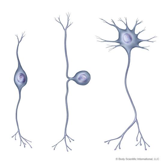 Neuron clipart unipolar Johnston Semay Medical Portfolio Website