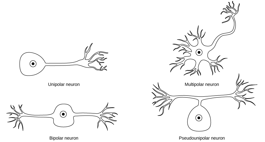 Neuron clipart unipolar Has from cell cell body