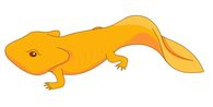 Newt clipart Pictures Free Illustrations amphibian newt