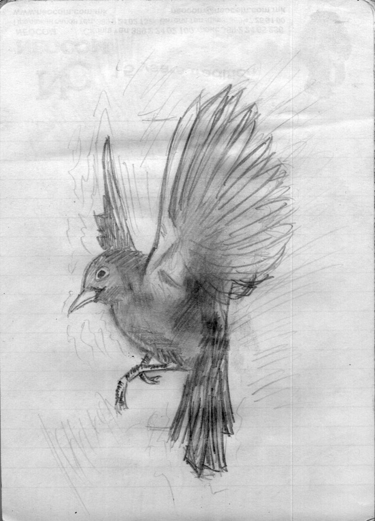 Photo#1 Flying flying drawing Nightingale