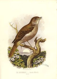 Nightingale clipart maya bird Prints Contact Antique birds Nightingale