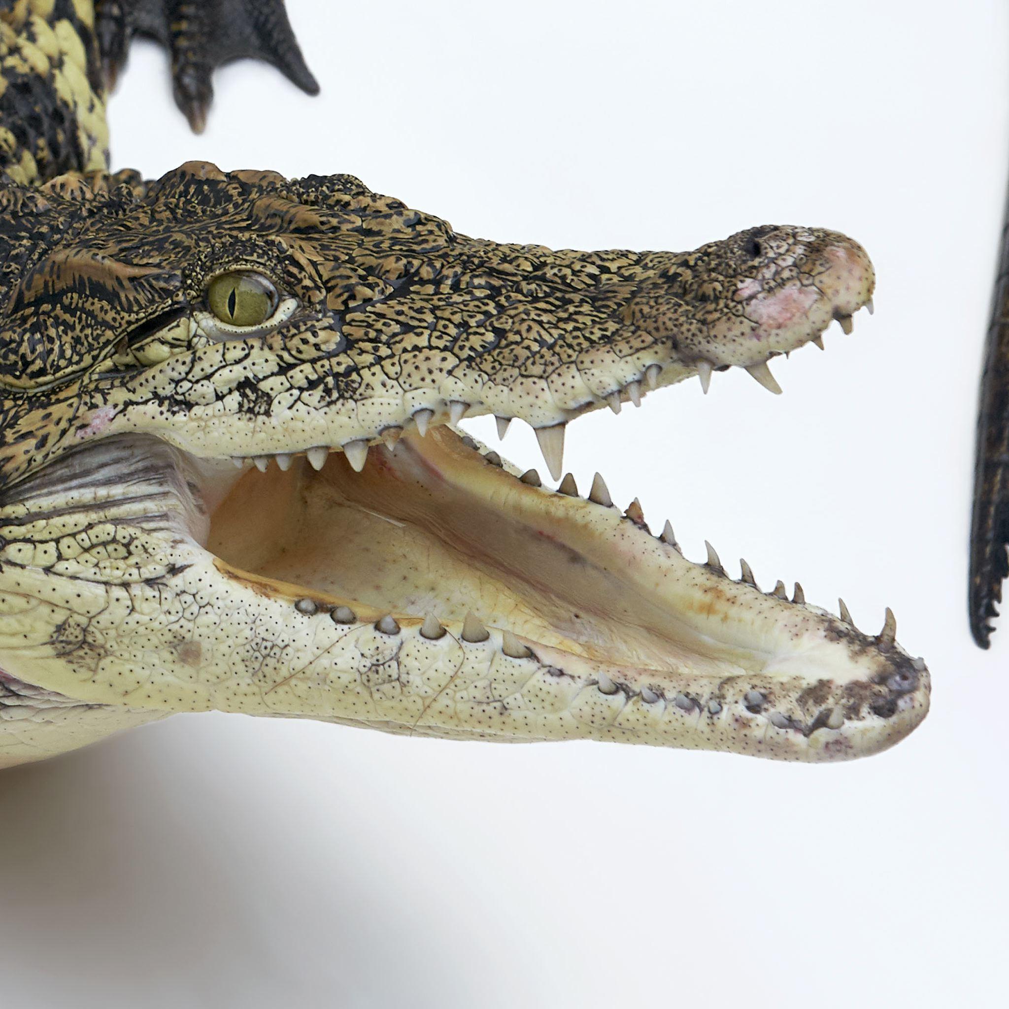 Nile River clipart nyle  Nile Crocodile Geographic National