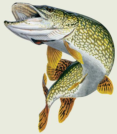 Northern Pike clipart Best Find Pin Lures Northern