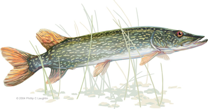 Northern Pike clipart great northern #1