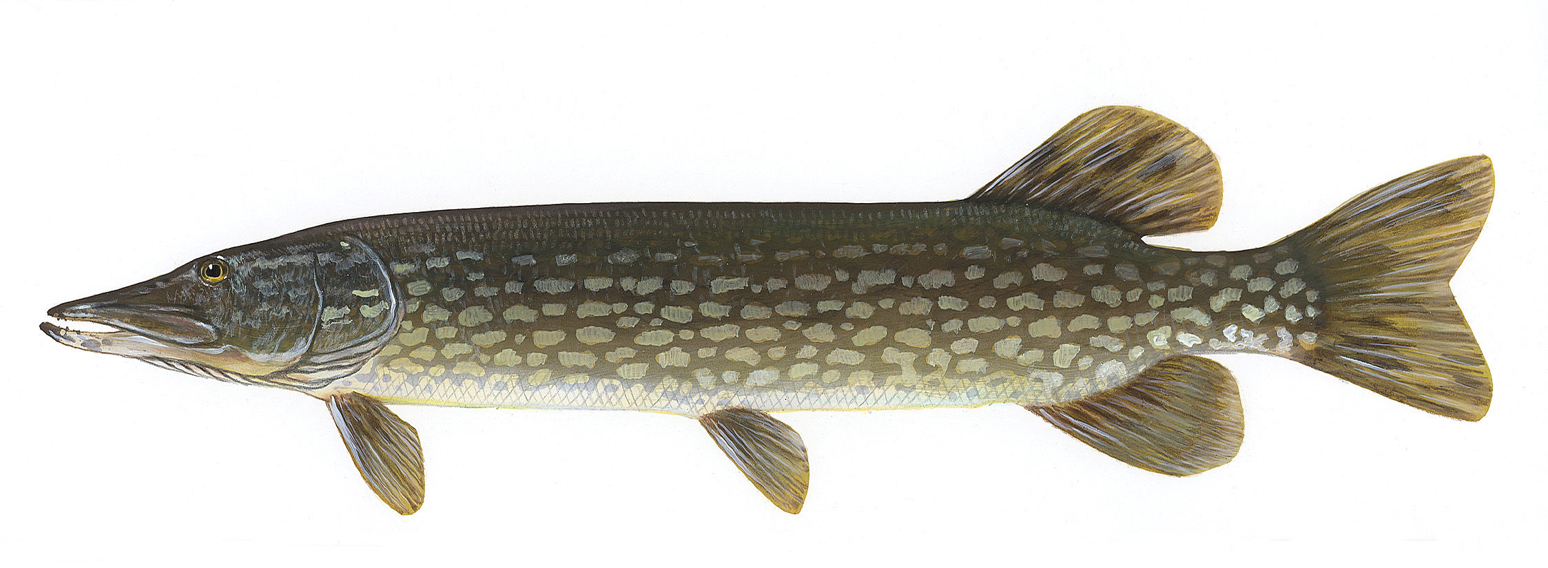 Northern Pike clipart great northern #2