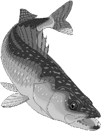 Northern Pike clipart muskie #12