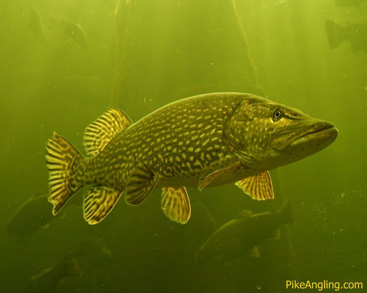 Northern Pike clipart norther #12