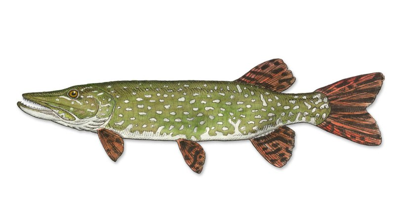 Northern Pike clipart norther #4