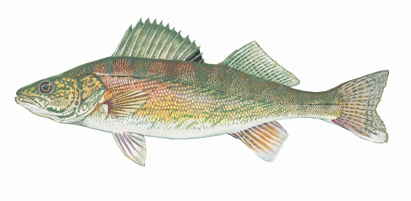 Northern Pike clipart perch EYEZ Fish: Walleye Pinterest Walleye