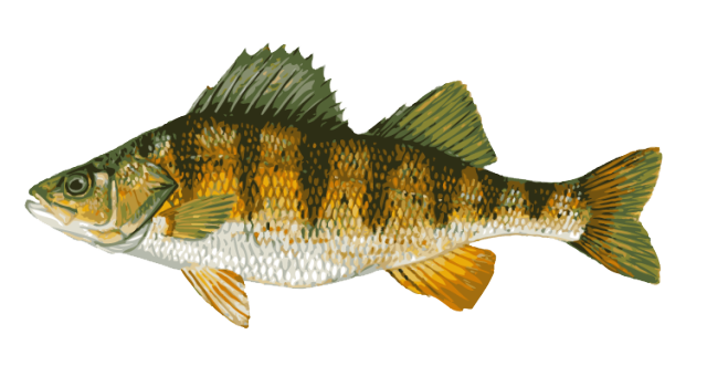 Northern Pike clipart perch Fish Freshwater Fish Fish and