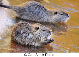Nutria clipart And Coypu the Art in