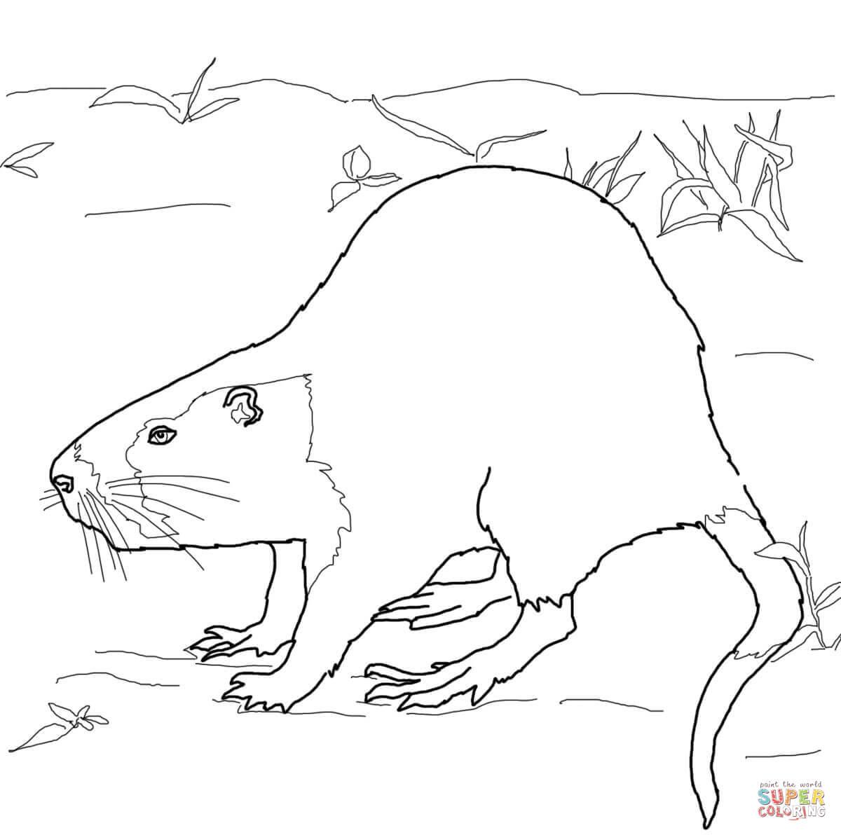 Rat clipart nutria #12