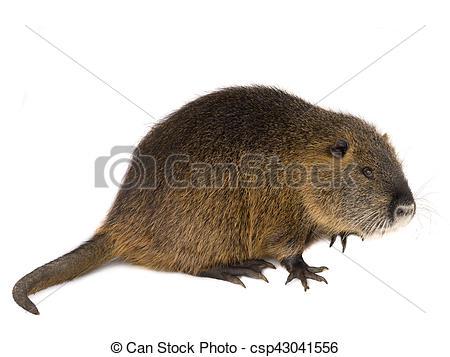 Rat clipart nutria #5