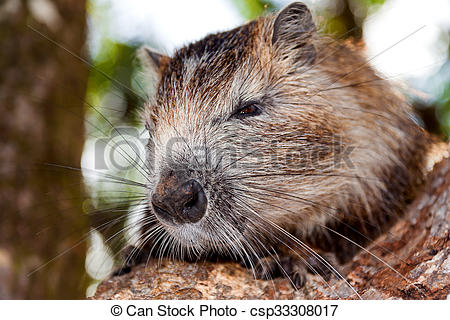 Rat clipart nutria #13