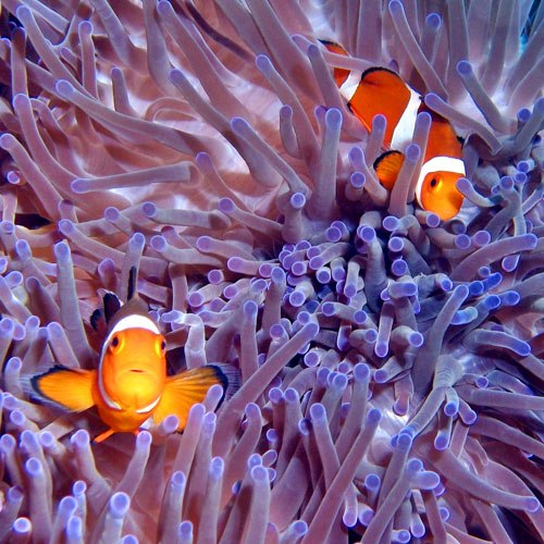 Ocean clipart great barrier reef The clown Great kids Facts