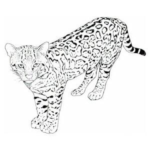 Ocelot clipart black and white Polyvore & Planet Doodles OCELOT