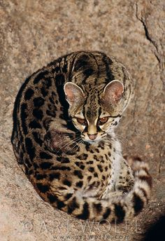 Ocelot clipart desert animal Sonoran (controlled Arizona  Flower