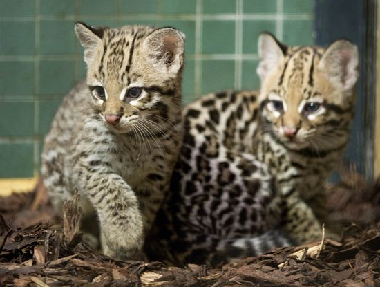 Ocelot clipart desert animal An images more Pinterest and