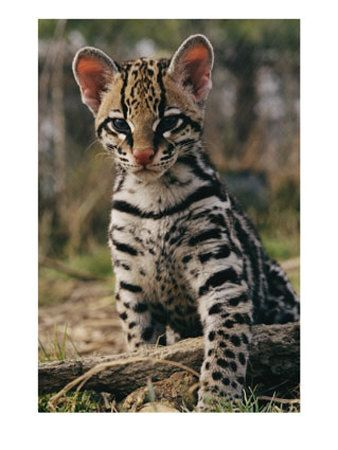 Ocelot clipart desert animal Kitten ocelot want want on