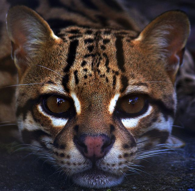 Ocelot clipart desert animal Images Pinterest by Ocelot on
