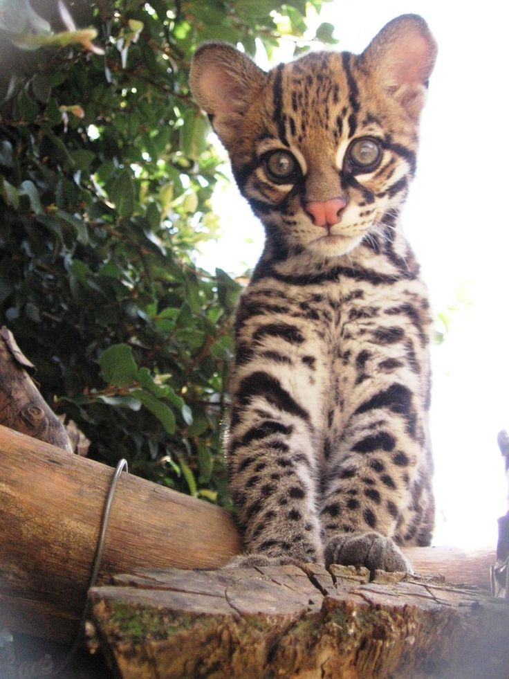 Ocelot clipart desert animal Servals on Ocelot Brazilian images