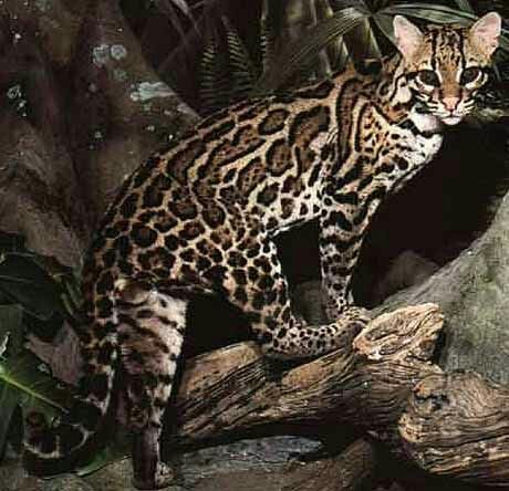 Ocelot clipart desert animal Ocelots best images ocelot Night