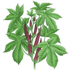 Okra clipart okra plant Or okra is but full