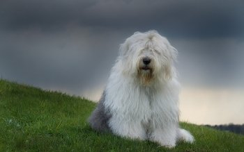 Old English Sheepdog clipart cartoon Wallpapers Old 2560x1600 Sheepdog Old
