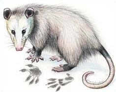 Possum clipart Clipart Opossum Free Opossum