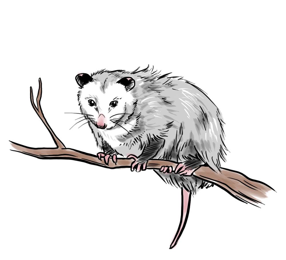 Opossum clipart  Animals via com wikiHow