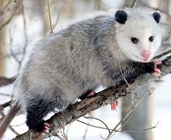 Opossum clipart Opossum Opossum Free Clipart