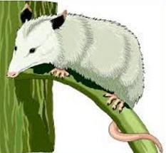 Possum clipart opossum #12
