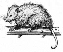 Possum clipart opossum #5
