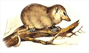 Opossum clipart And Clipart Images Images Clipart