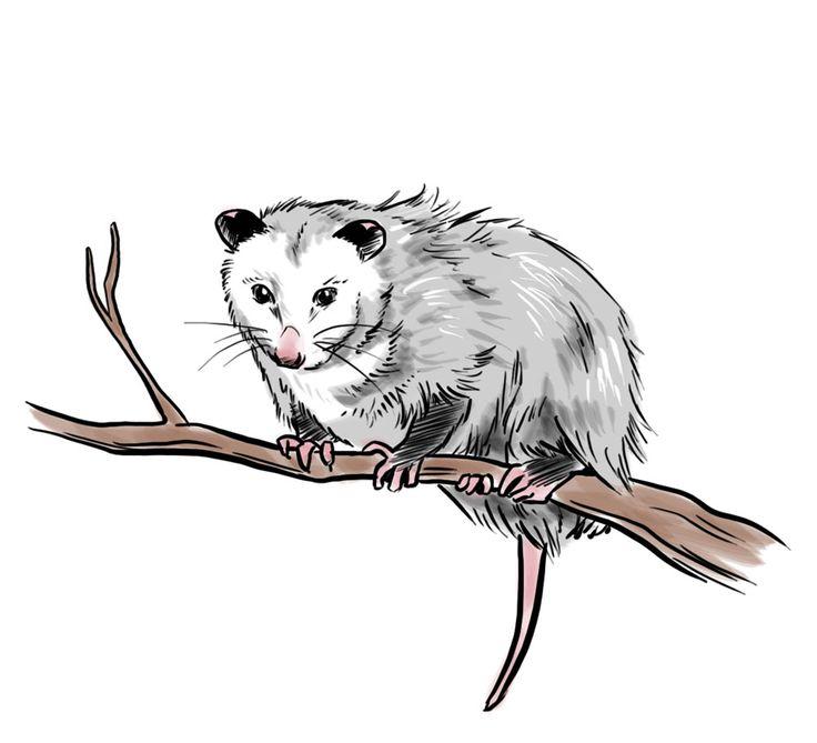 Possum clipart opossum #6