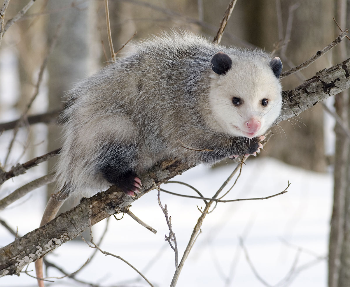 Opossum clipart length Opossum  Virginia Wikipedia