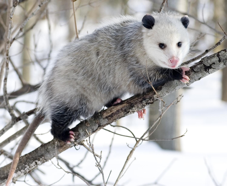 Opossum clipart length ANIMAL: Opossum SUPER Opossum