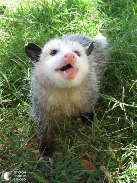 Opossum clipart length Opossum to 456 meltinguniverse Possums