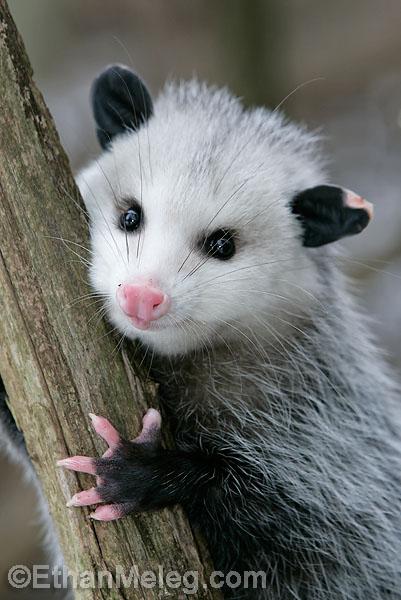 Opossum clipart length Pinterest Awesome Animal  Opossum