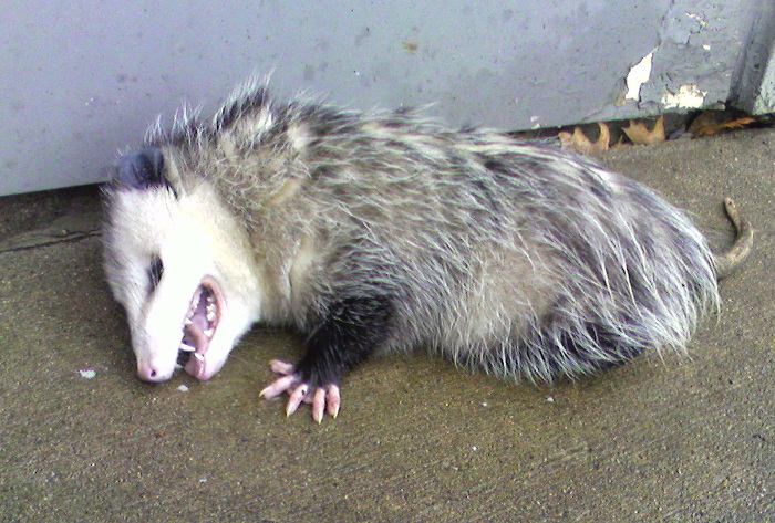 Opossum clipart length When feign Removal Opossum frightened