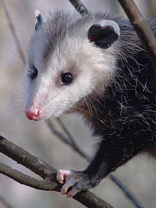 Opossum clipart length Opossums rid Removal Control Get