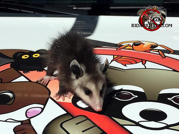Opossum clipart odd Baby Opossum truck of Chris's