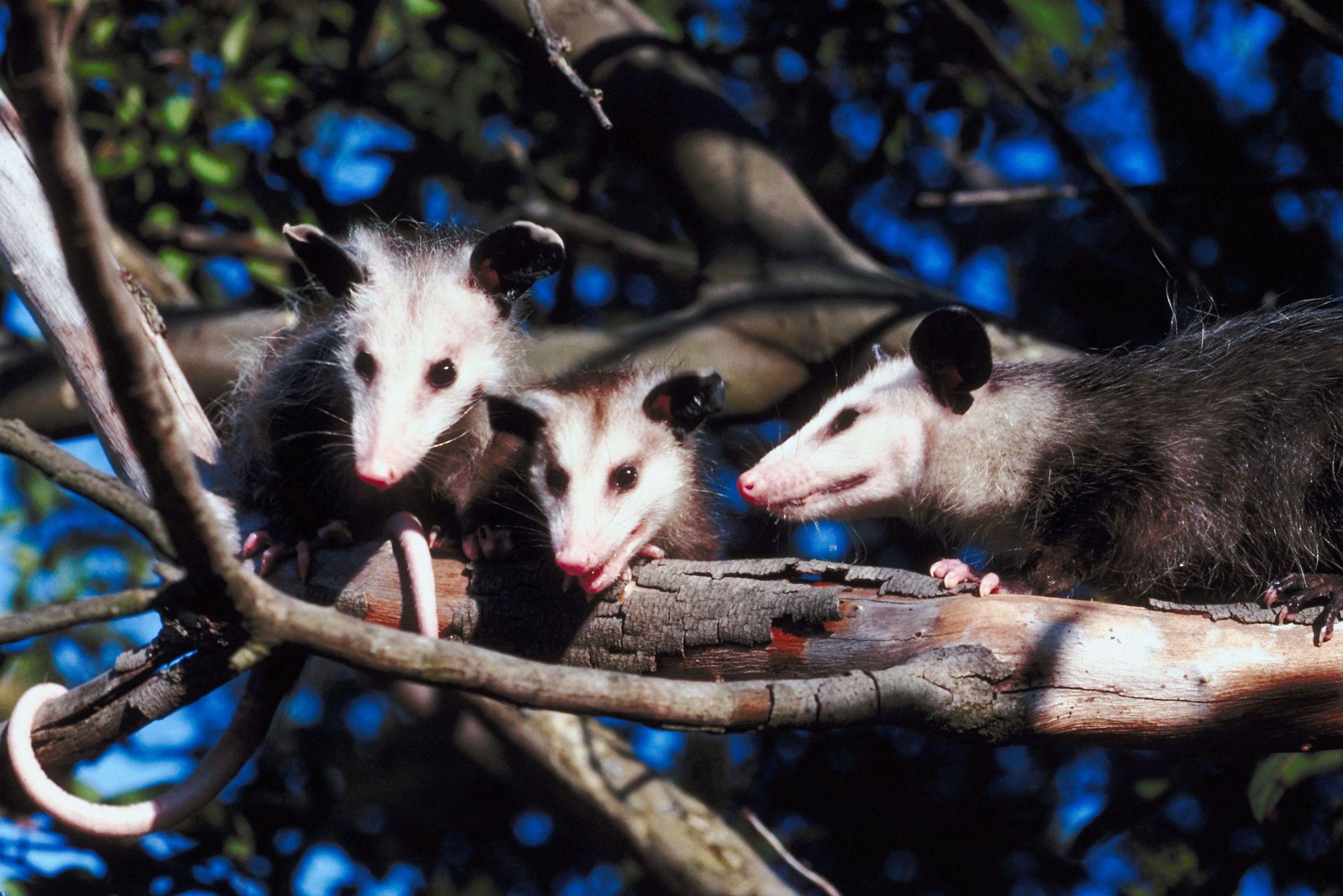 Opossum clipart odd Man Man office at KGMI