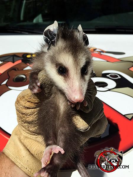 Opossum clipart odd Baby Opossum dishwasher under a