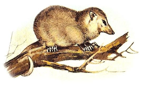 Possum clipart opossum #2